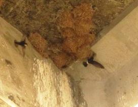 Chưa phát hiện vi rút H5N1 trên chim yến sống tại Ninh Thuận