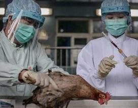 Cúm H7N9 lây từ gà sang người
