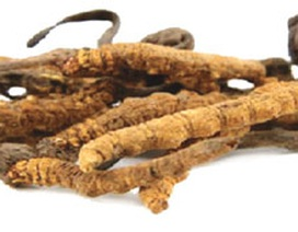 Giá trị dược liệu quý của Đông trùng hạ thảo