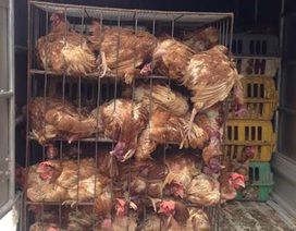 Vận chuyển 600kg gà thải loại về Hà Nội tiêu thụ