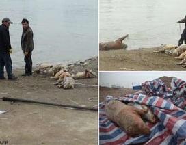 Trung Quốc: Nguồn nước thành phố ô nhiễm vì lợn chết trôi đầy sông