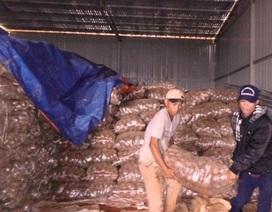 Tiêu hủy 26 tấn khoai tây Trung Quốc chứa chất độc hại