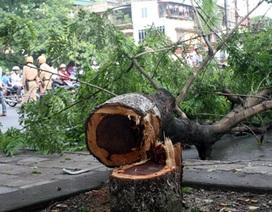 Hà Nội: Nhóm cưa trộm sưa đỏ trong đêm mưa bị bắt