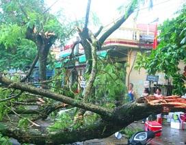 Nhiều cây cổ thụ gãy đổ la liệt sau trận gió lốc, mưa đá