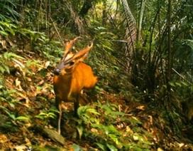 Phát hiện loài Mang lớn quý hiếm tại Khu Bảo tồn Sao la