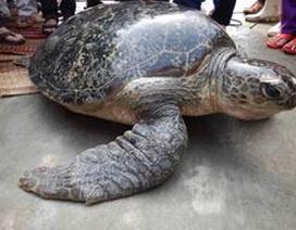 Phát hiện rùa biển 85kg dạt vào đầm phá