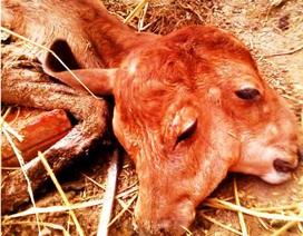 Bò mẹ sinh bê con 2 đầu