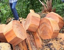 Cận cảnh rừng nghiến ở Ba Bể bị tàn phá