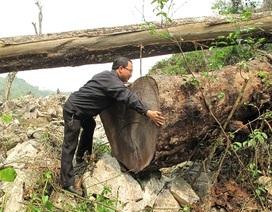 Điều tra vụ phá rừng nghiến tại Vườn Quốc gia Ba Bể