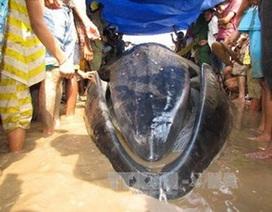 Cá voi mắc cạn, chết vì kiệt sức