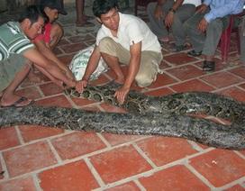 Bắt được trăn khổng lồ nặng gần 100kg