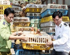 100% gà thải loại nhập lậu nhiễm tồn dư kháng sinh
