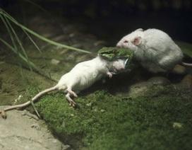Chú chuột dũng cảm bóp cổ rắn cứu bạn