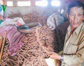Thương lái Trung Quốc lại thu mua gốc, rễ hồ tiêu ở Gia Lai