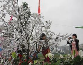 Hoa anh đào Nhật Bản rợp sắc ở Hạ Long