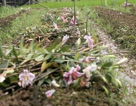 Những vườn hoa cháy lá, thối nụ vì mưa nhiều