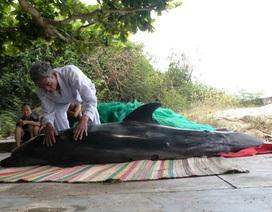Cá heo hấp hối dạt vào bờ biển Quy Nhơn