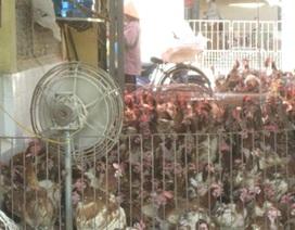 Mỗi ngày hơn 10 tấn gà loại thải Trung Quốc vào Hà Nội