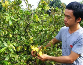 Đông Nam Bộ: Khóc vì mai nở sớm!