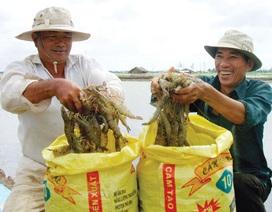 Thương nhân Trung Quốc mua tôm nguyên liệu: Mừng ít, lo nhiều