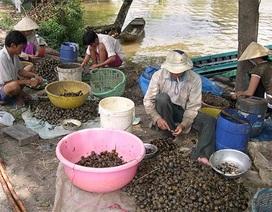 Đổ xô mua ốc bươu vàng bán cho thương lái Trung Quốc