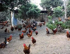 """Gà lậu, gà thải Trung Quốc """"bức tử"""" gà Yên Thế"""