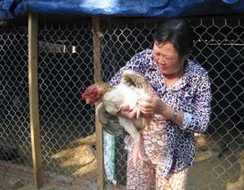 Kinh nghiệm nuôi gà Đông Tảo thu bạc triệu