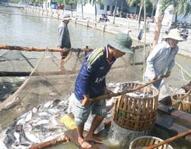 Giá cá tra tăng nóng, người nuôi không còn cá bán