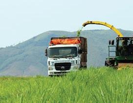 Đại gia Việt hứng thú trồng cỏ nuôi bò