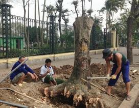 Chặt hạ cây xanh ở Hà Nội: Cần lắng nghe ý kiến của chuyên gia và người dân