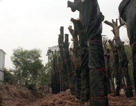 """Bí thư Hà Nội: Không để vụ chặt hạ cây xanh """"hòa cả làng"""""""