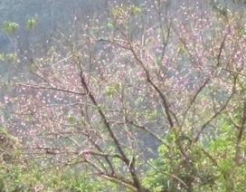 Đào rừng bung nở