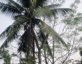 Cây dừa 7 ngọn liệt sỹ trồng trước ngày ra trận