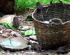 """TPHCM: Chiến dịch """"càn quét"""" chuột đại quy mô"""