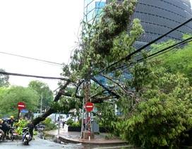 Cây cổ thụ cao hơn 10m bị gió thổi bật gốc