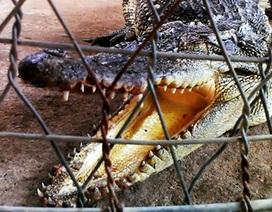 """Hoảng hồn cá sấu dài hơn 1m """"vô tư"""" bơi dưới sông"""