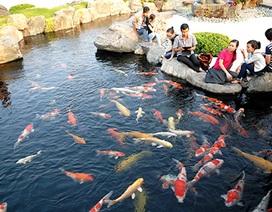 Ngắm đàn cá quý hiếm đến từ Nhật Bản