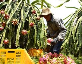 Nông dân trồng thanh long điêu đứng vì bị ép giá