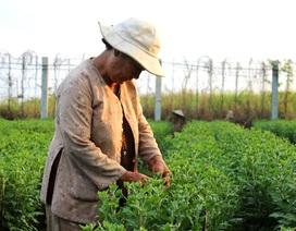 Người trồng hoa lạc quan với thị trường hoa Tết