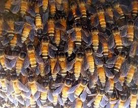 Bị ong khoái đốt hơn 300 vết khi đang làm rẫy