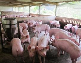 Phạt các hộ nuôi heo sử dụng chất tạo nạc 60 triệu đồng