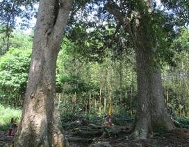 Chuyện về 7 cây di sản 600 năm tuổi
