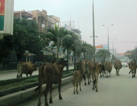 """Đàn bò hàng chục con """"vô tư"""" đi dạo trong thành phố"""