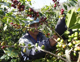 VN qua mặt Brazil trở thành nước xuất khẩu cà phê số 1 thế giới