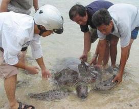 Rùa biển quý hiếm lạc vào đầm phá Huế