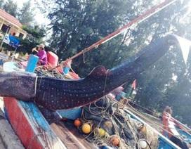 Chở cá voi nửa tấn từ biển vào đất liền chôn