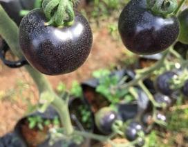 Cà chua đen giá đắt đỏ vẫn hút khách