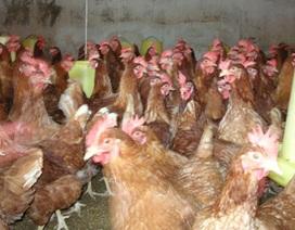 Để phân biệt gà loại thải nhập lậu