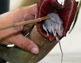 Chùm ảnh: Khám phá thế giới những loài cây ăn thịt