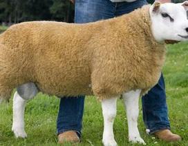"""""""Sốc"""" vì một con cừu có giá 376.000 USD"""